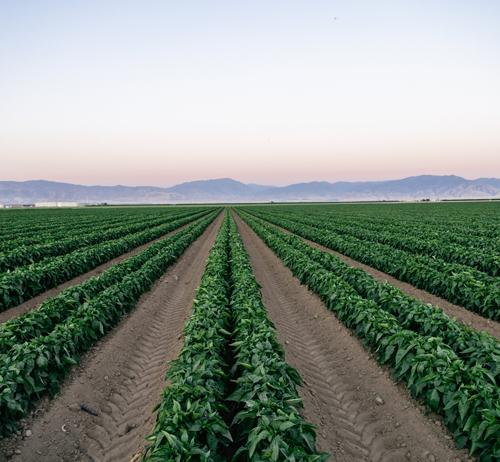 Sweet Potato Field, Bakersfield, CA